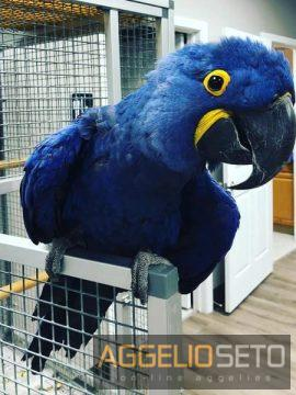 babies hycinth macaw  parrots for 200€
