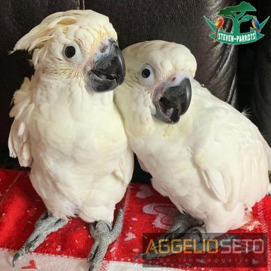 μωρά παπαγάλοι κοκατόπουλου για 200 €