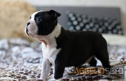 Boston Terrier - Μπόστον Τεριέ