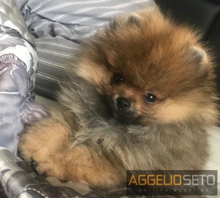 Pomeranian toy