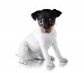 Fox Terrier Toy - Φοξ Τεριέ Τόι